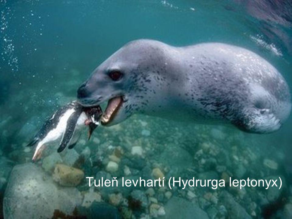 Tuleň levhartí (Hydrurga leptonyx)