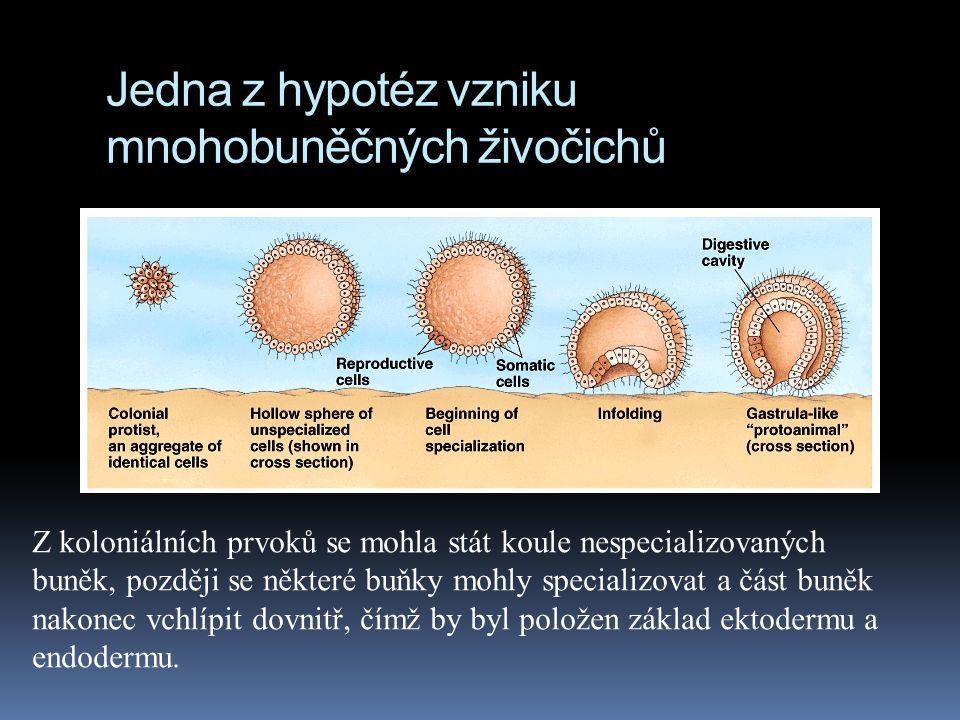Jedna z hypotéz vzniku mnohobuněčných živočichů