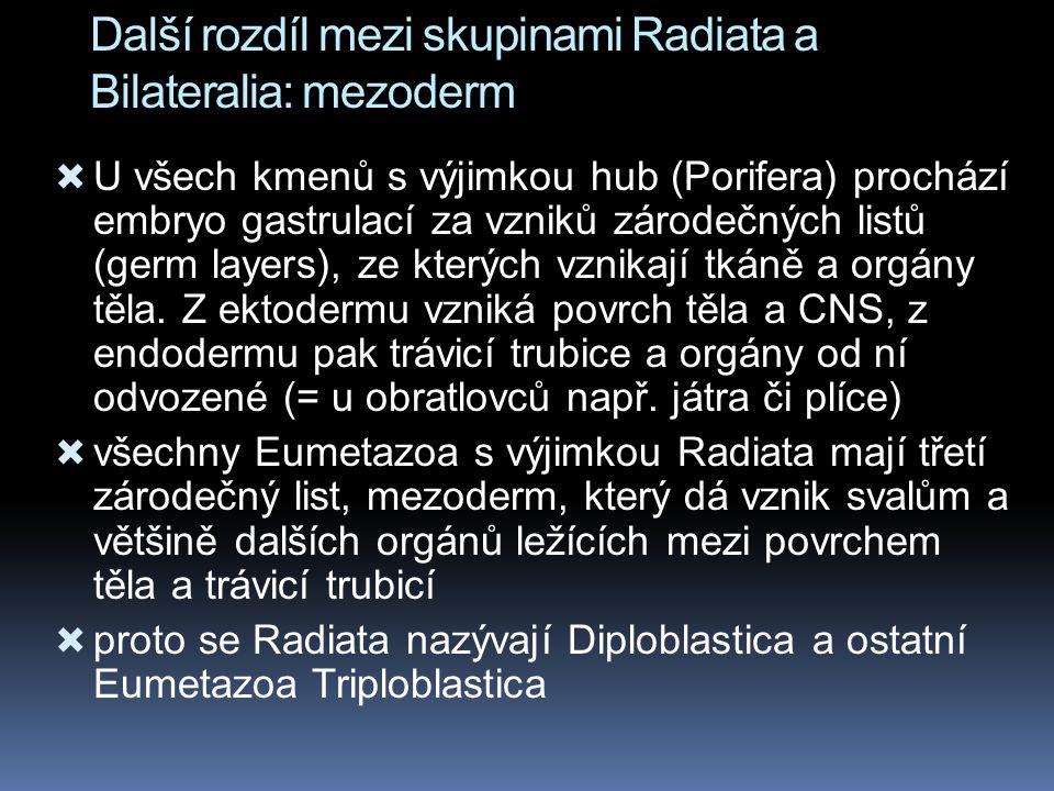 Další rozdíl mezi skupinami Radiata a Bilateralia: mezoderm