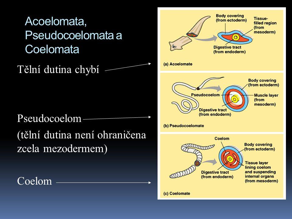 Acoelomata, Pseudocoelomata a Coelomata