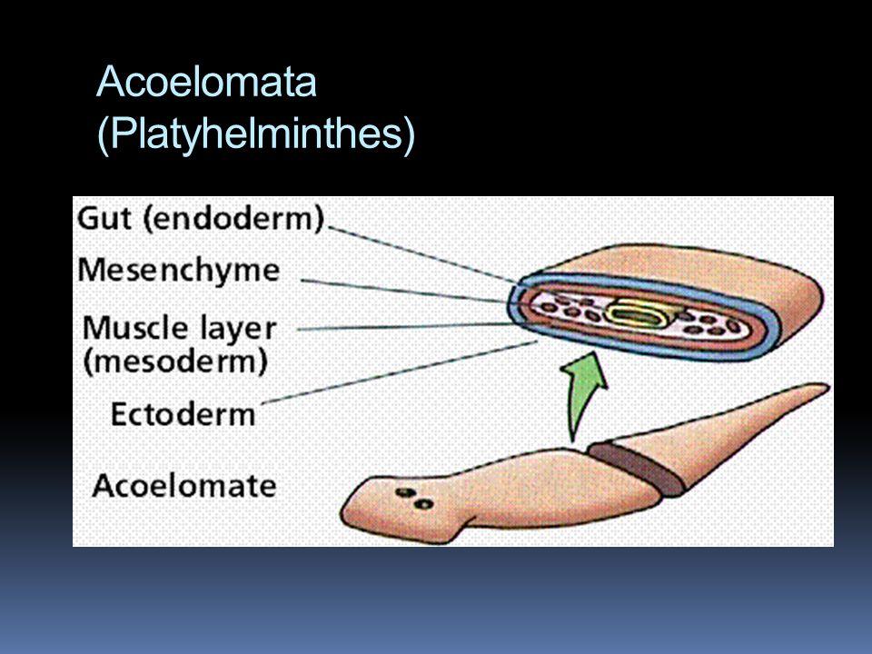 Acoelomata (Platyhelminthes)