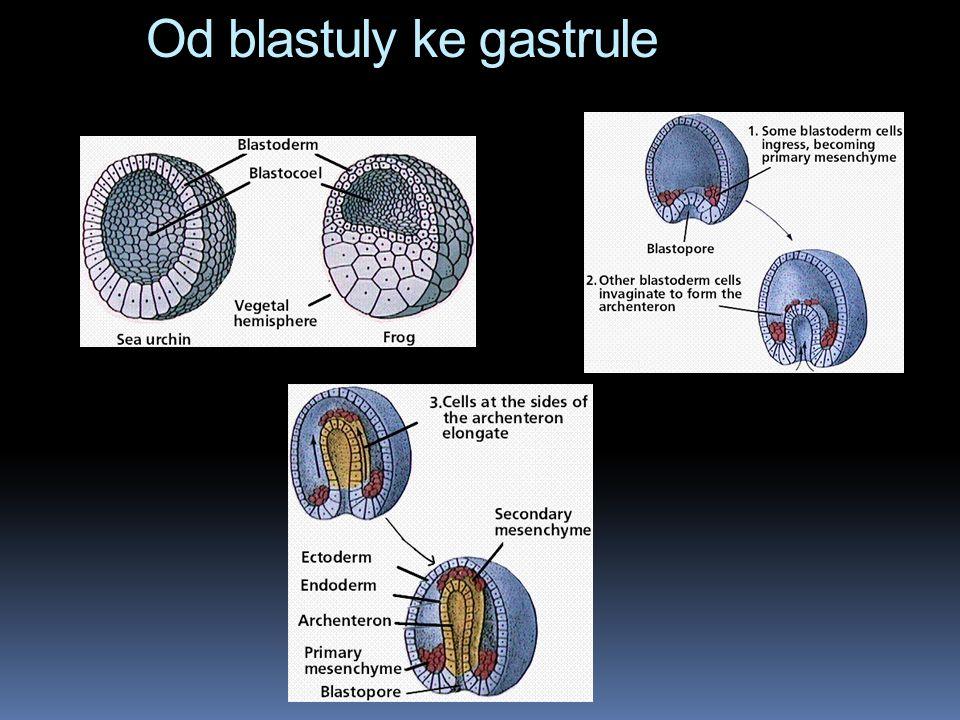 Od blastuly ke gastrule
