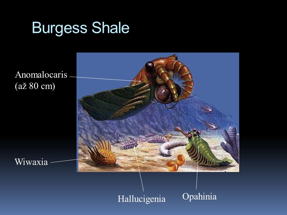 Burgess Shale Anomalocaris (až 80 cm) Wiwaxia Opahinia Hallucigenia