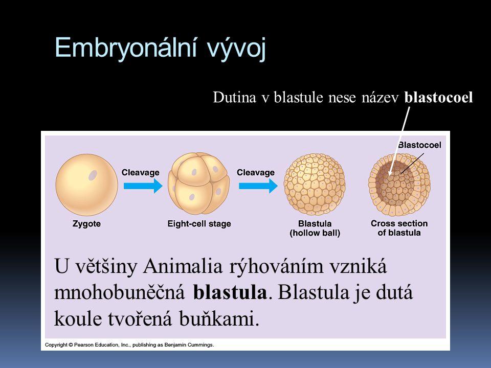 Embryonální vývoj Dutina v blastule nese název blastocoel.