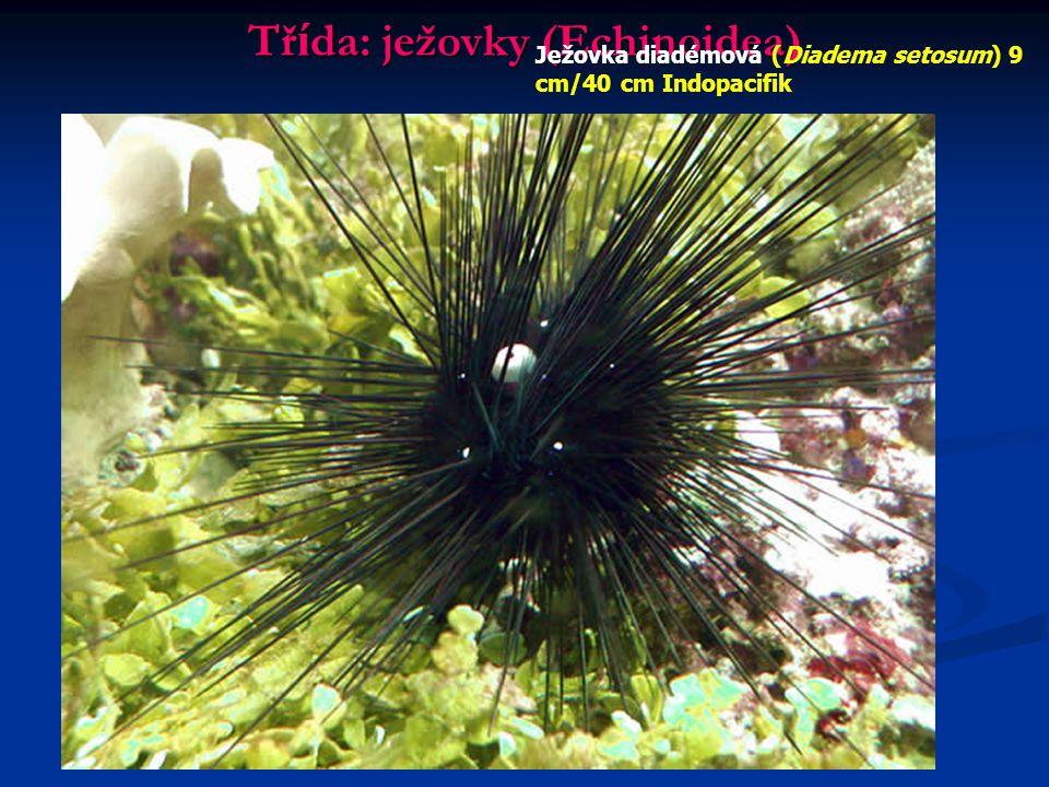 Třída: ježovky (Echinoidea)