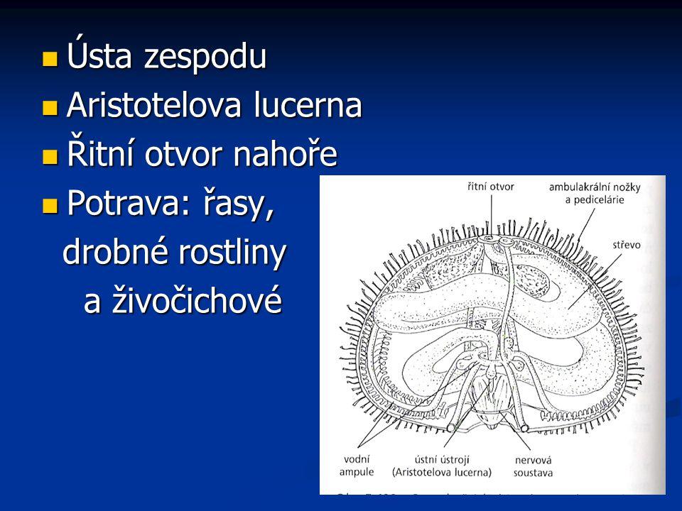 Ústa zespodu Aristotelova lucerna Řitní otvor nahoře Potrava: řasy, drobné rostliny a živočichové