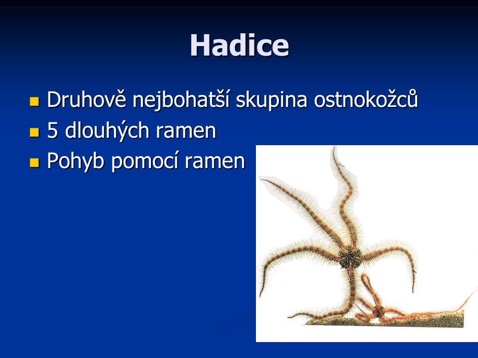 Hadice Druhově nejbohatší skupina ostnokožců 5 dlouhých ramen