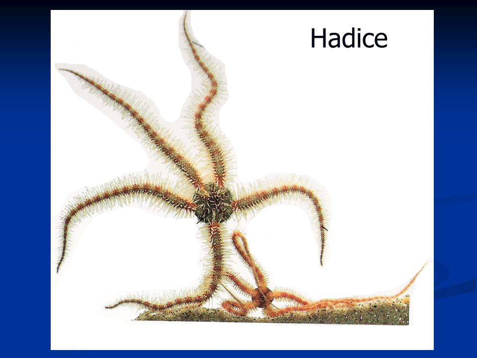Hadice