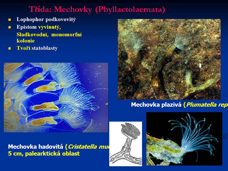 Třída: Mechovky (Phyllactolaemata)