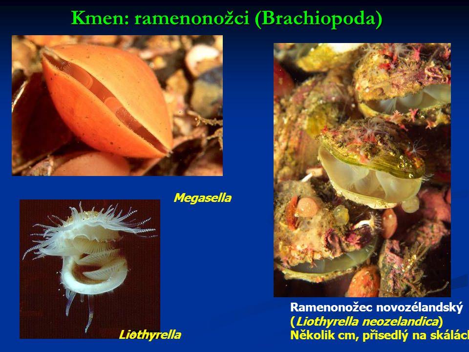 Kmen: ramenonožci (Brachiopoda)
