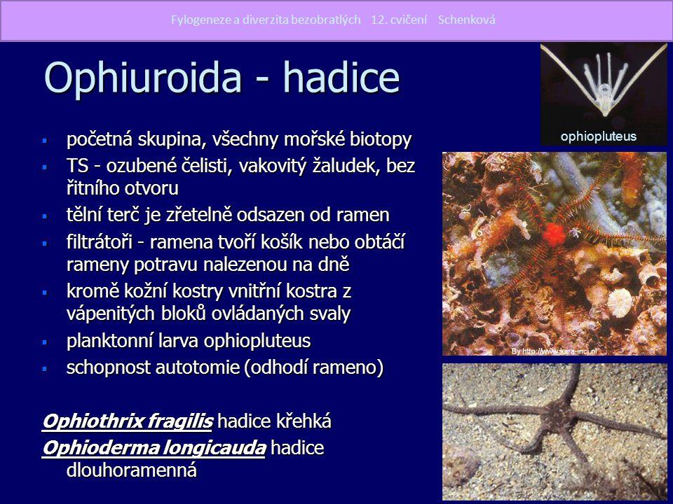 Ophiuroida - hadice početná skupina, všechny mořské biotopy