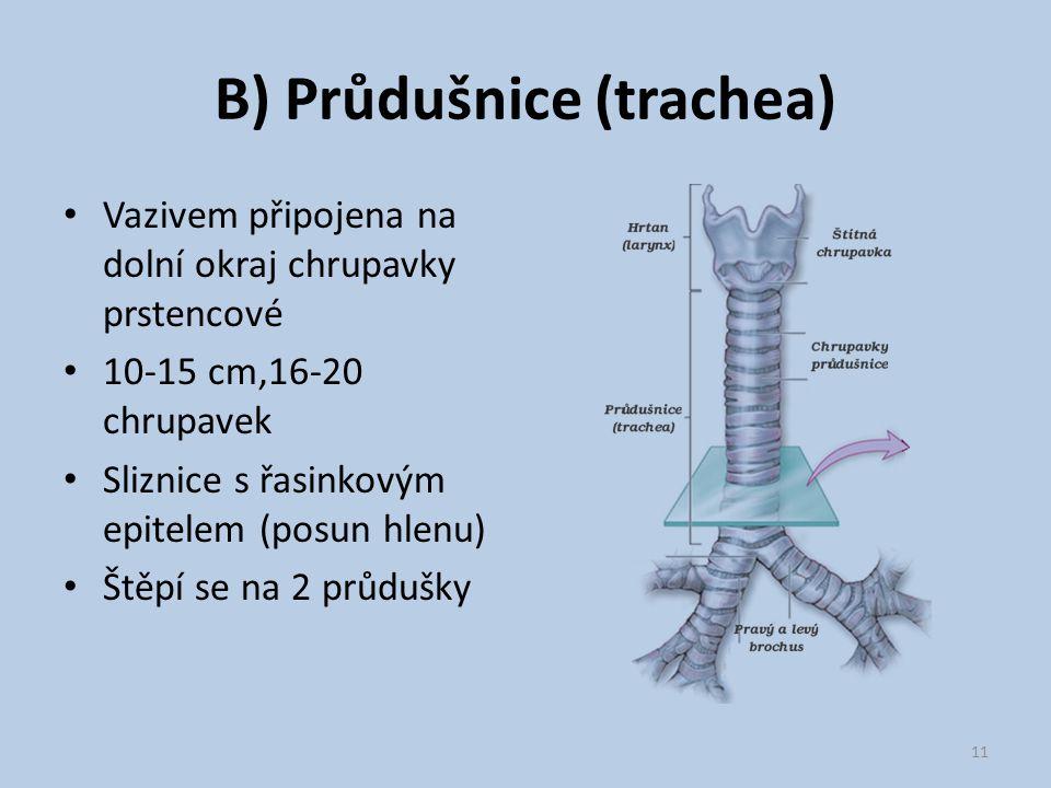 B) Průdušnice (trachea)
