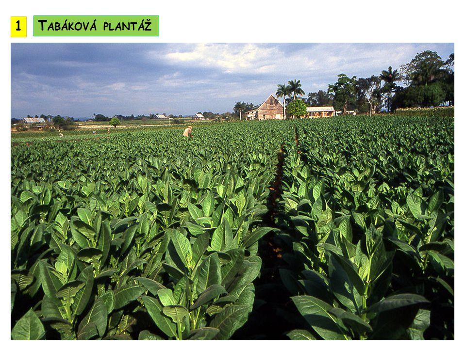 1 Tabáková plantáž
