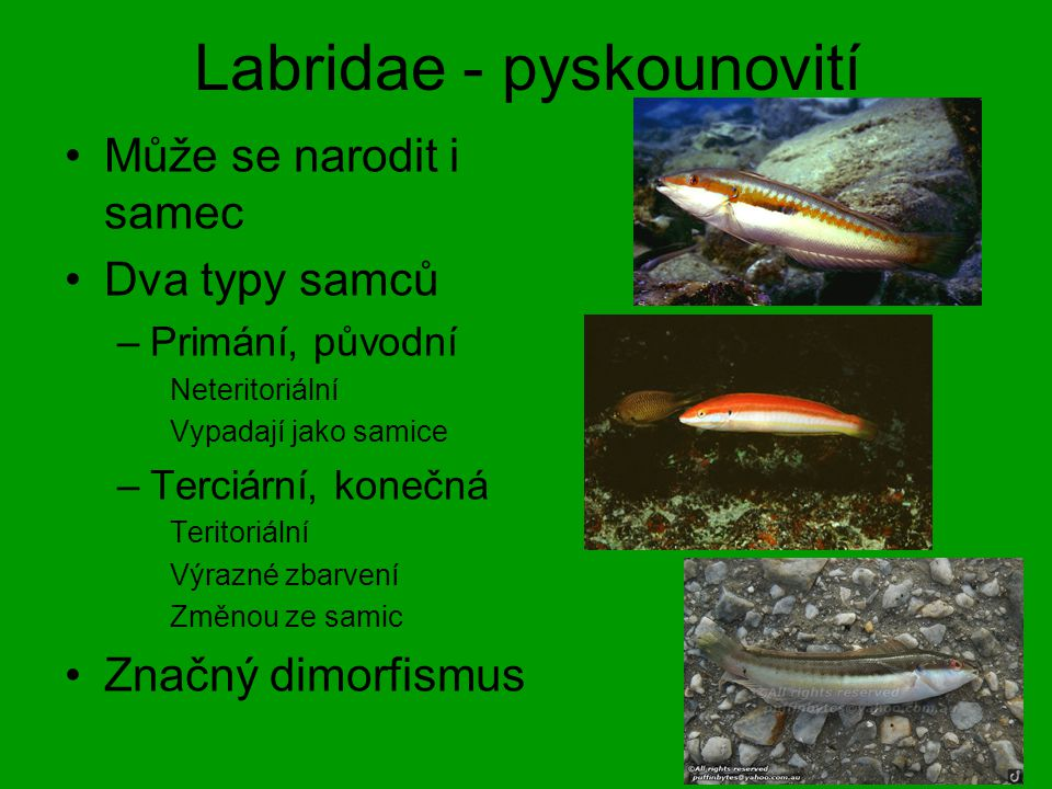 Labridae - pyskounovití