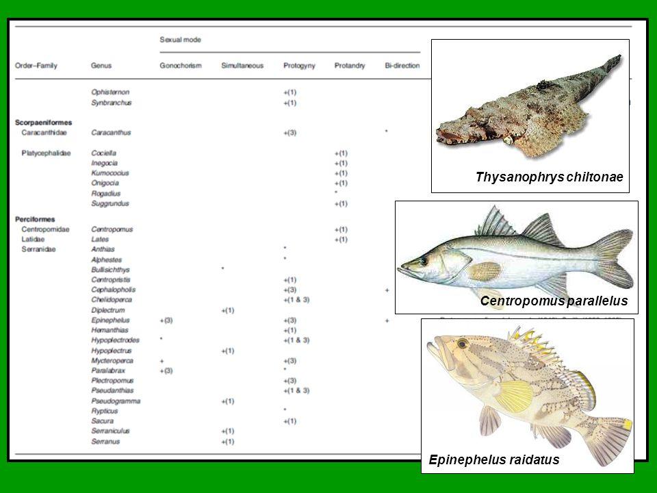 Thysanophrys chiltonae