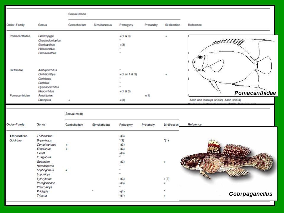 Pomacanthidae Gobi paganellus