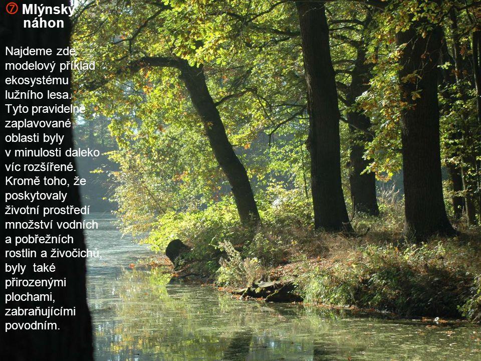  Mlýnský náhon Najdeme zde modelový příklad ekosystému lužního lesa.