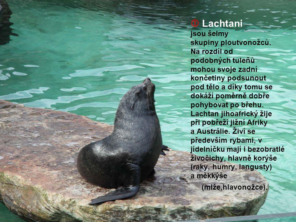  Lachtani jsou šelmy skupiny ploutvonožců. Na rozdíl od