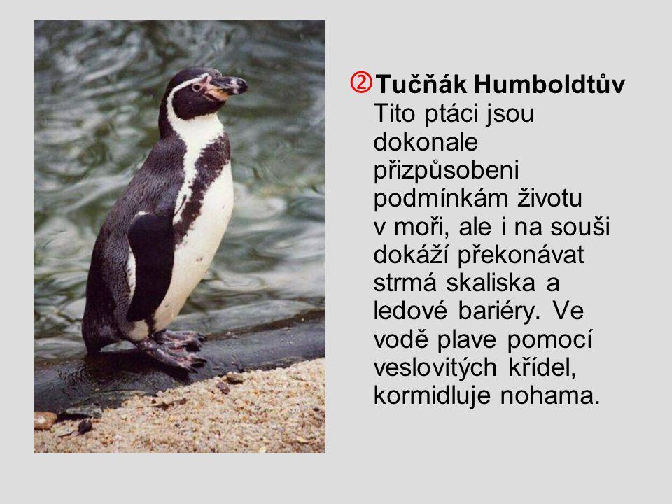 Tučňák Humboldtův Tito ptáci jsou dokonale přizpůsobeni podmínkám životu v moři, ale i na souši dokáží překonávat strmá skaliska a ledové bariéry.