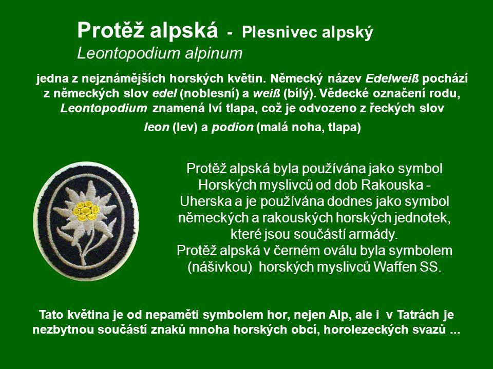Protěž alpská - Plesnivec alpský Leontopodium alpinum