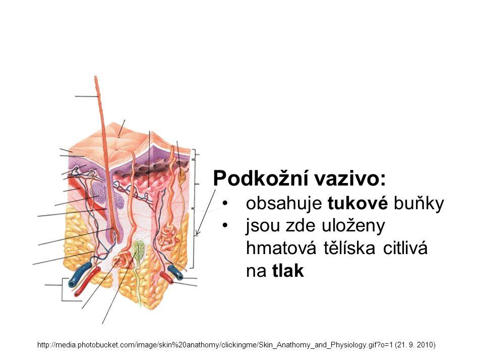Podkožní vazivo: obsahuje tukové buňky