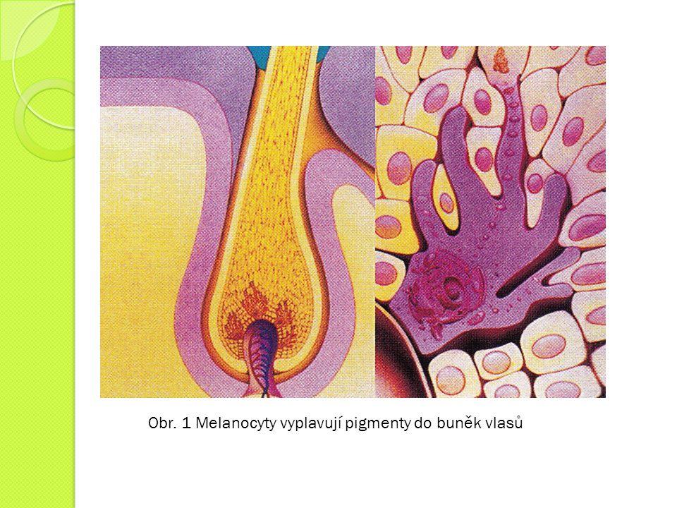 Obr. 1 Melanocyty vyplavují pigmenty do buněk vlasů