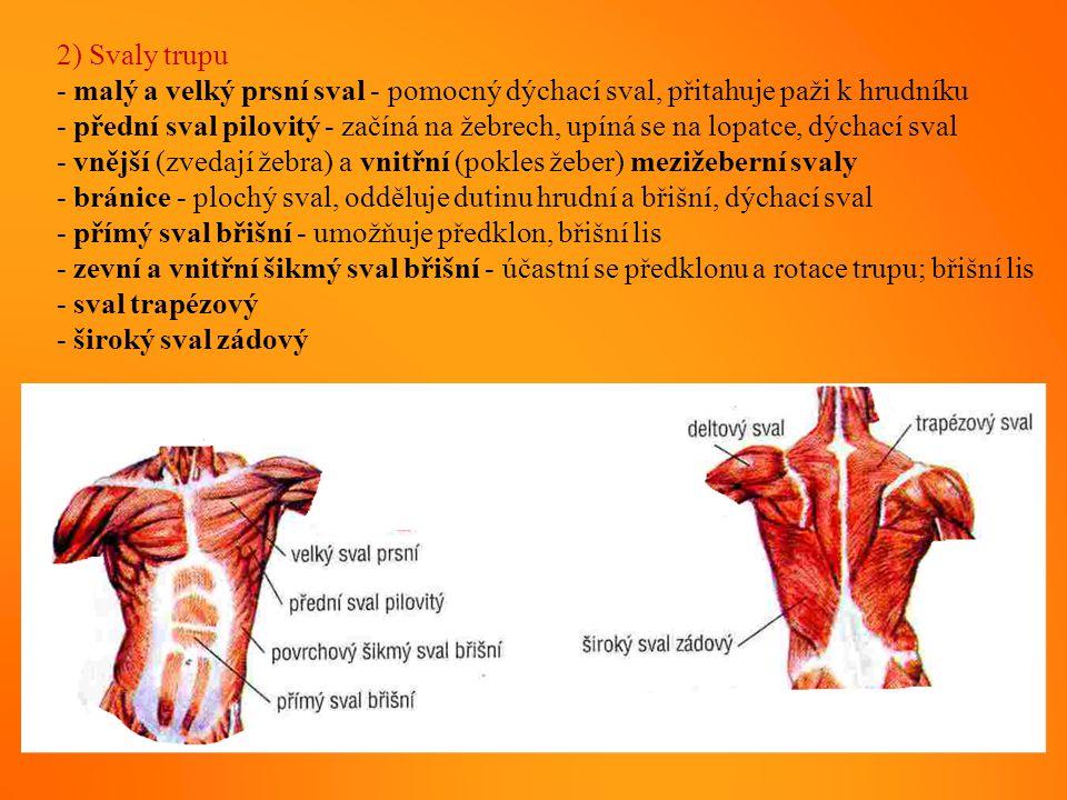 2) Svaly trupu - malý a velký prsní sval - pomocný dýchací sval, přitahuje paži k hrudníku.