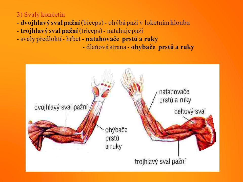 3) Svaly končetin - dvojhlavý sval pažní (biceps) - ohýbá paži v loketním kloubu. - trojhlavý sval pažní (triceps) - natahuje paži.