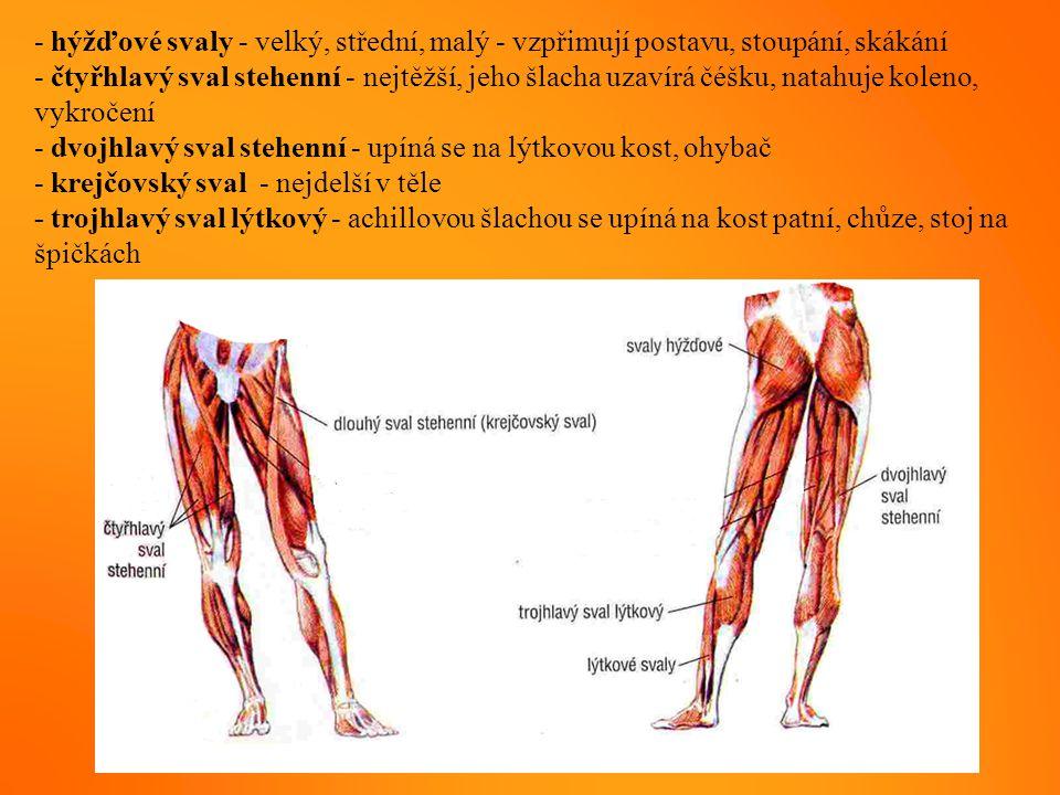 - hýžďové svaly - velký, střední, malý - vzpřimují postavu, stoupání, skákání