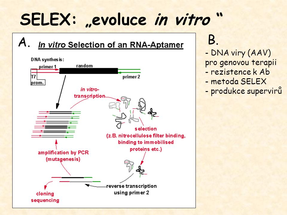 "SELEX: ""evoluce in vitro"