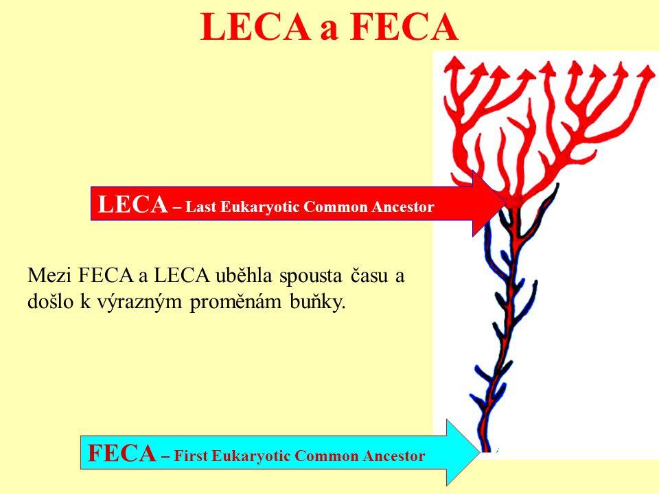 LECA a FECA LECA – Last Eukaryotic Common Ancestor