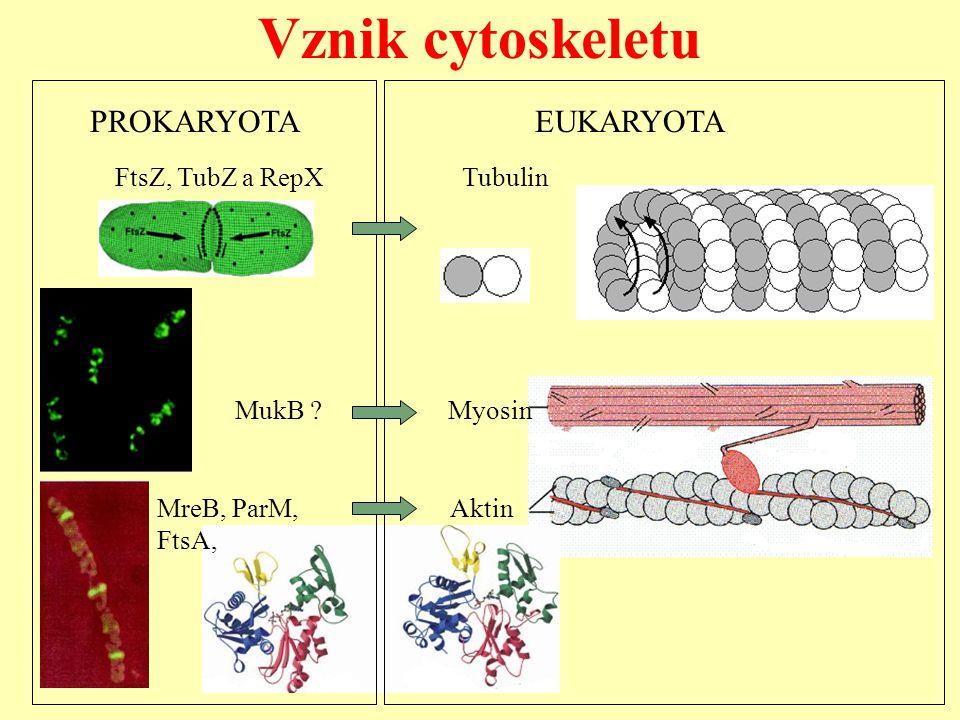 Vznik cytoskeletu PROKARYOTA EUKARYOTA FtsZ, TubZ a RepX Tubulin