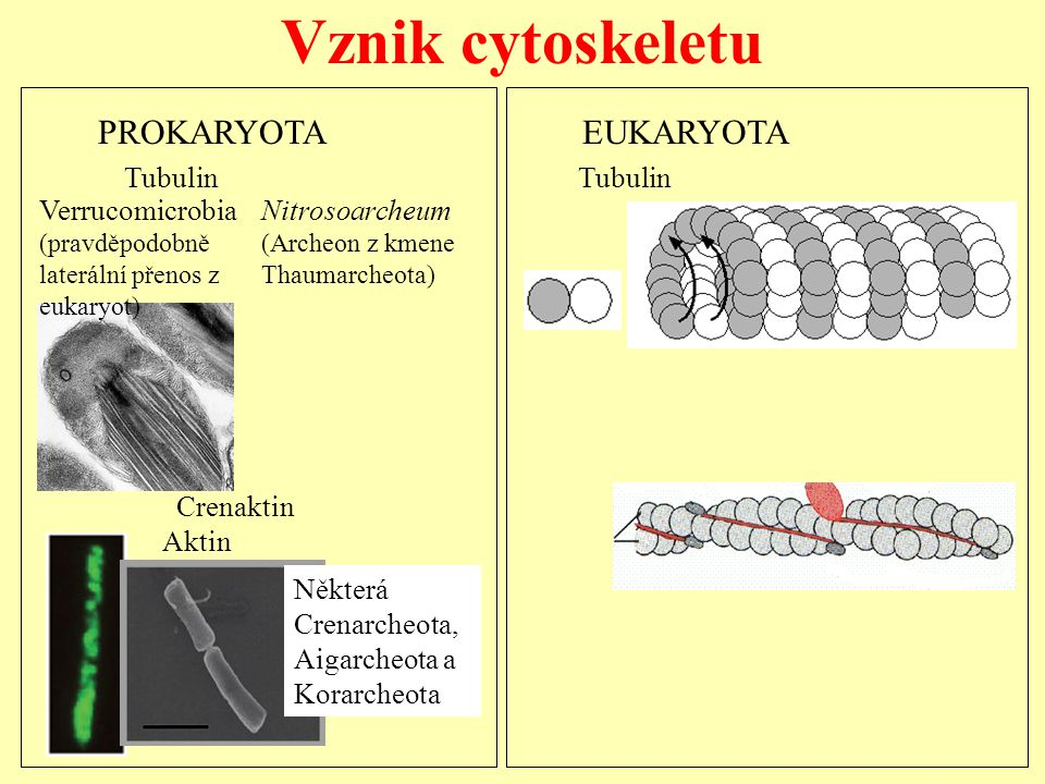 Vznik cytoskeletu PROKARYOTA EUKARYOTA Tubulin Tubulin