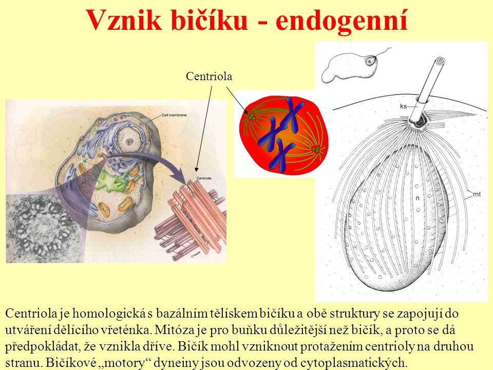 Vznik bičíku - endogenní