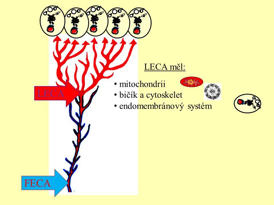 LECA FECA LECA měl: mitochondrii bičík a cytoskelet