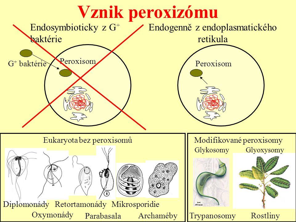 Endogenně z endoplasmatického retikula