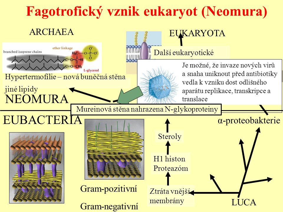 Fagotrofický vznik eukaryot (Neomura)