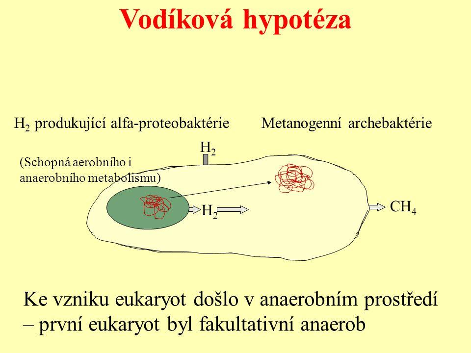 Vodíková hypotéza Ke vzniku eukaryot došlo v anaerobním prostředí
