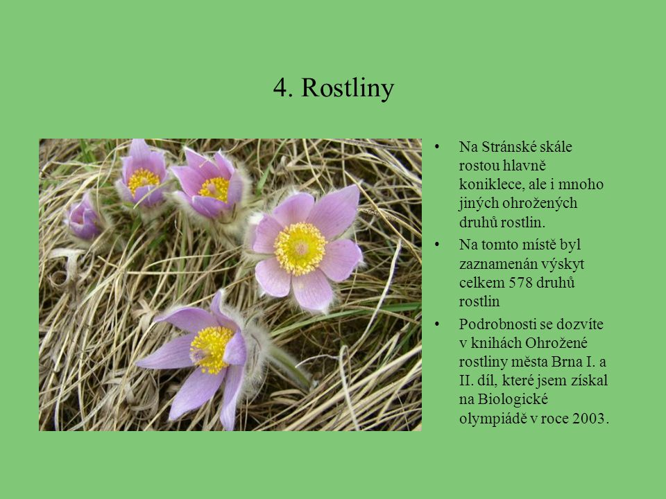 4. Rostliny Na Stránské skále rostou hlavně koniklece, ale i mnoho jiných ohrožených druhů rostlin.