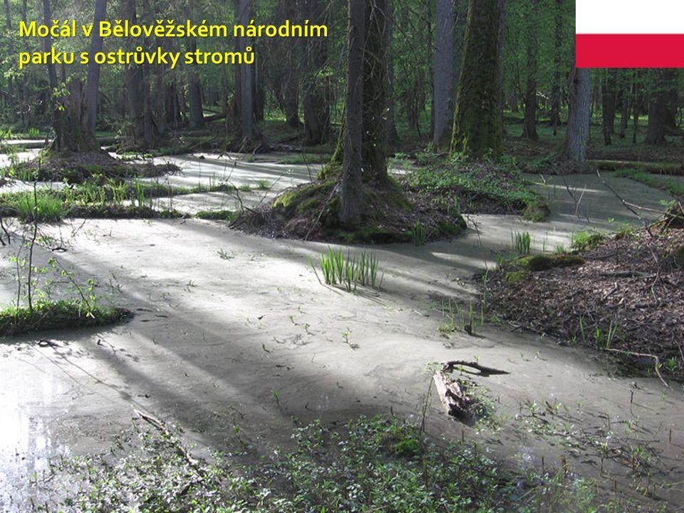 Močál v Bělověžském národním parku s ostrůvky stromů