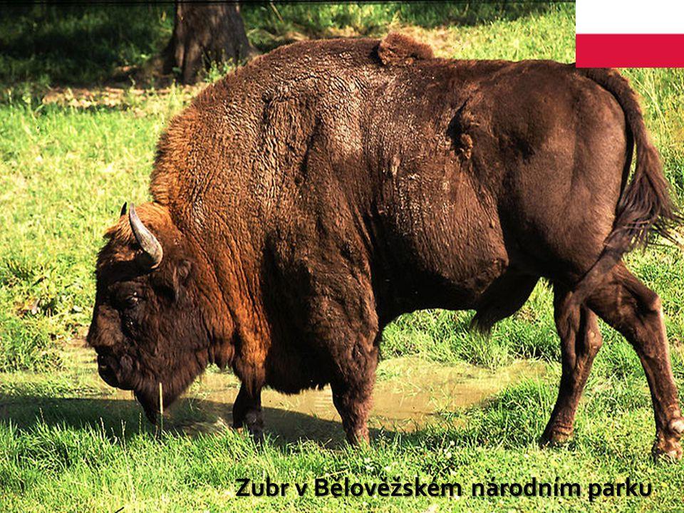 Zubr v Bělověžském národním parku