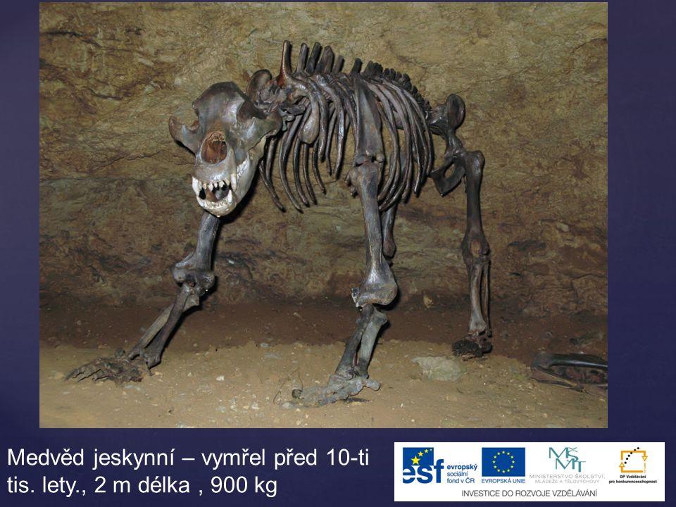 Medvěd jeskynní – vymřel před 10-ti tis. lety., 2 m délka , 900 kg