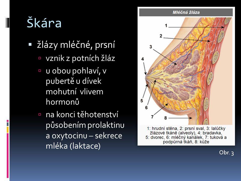 Škára žlázy mléčné, prsní vznik z potních žláz
