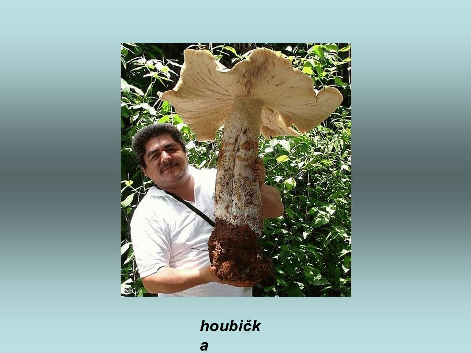 houbička
