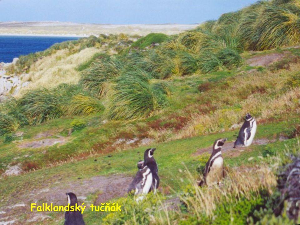 Falklandský tučňák
