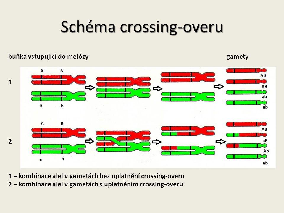 Schéma crossing-overu