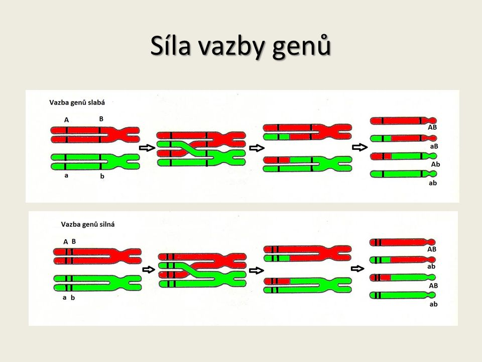Síla vazby genů