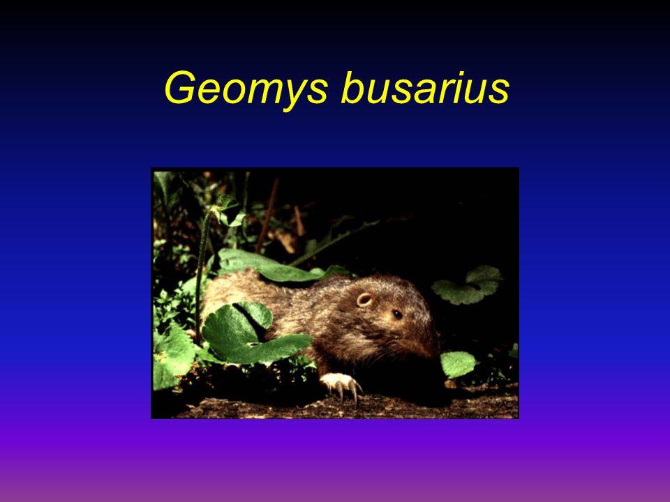 Geomys busarius