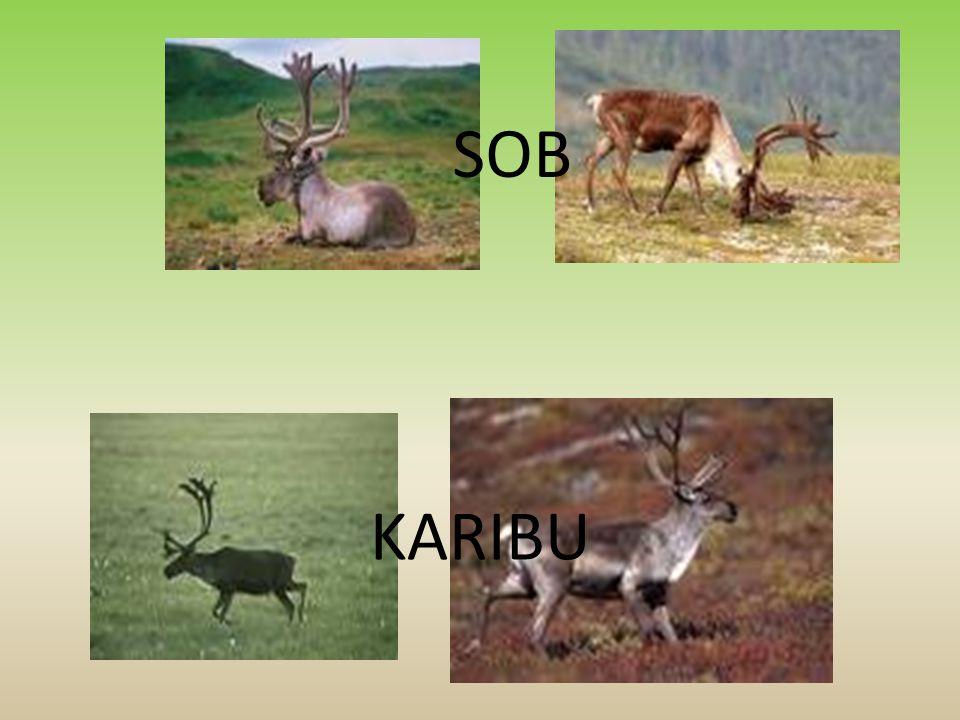 SOB KARIBU