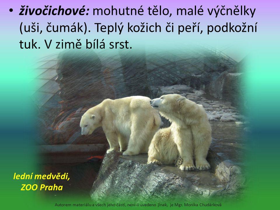 lední medvědi, ZOO Praha